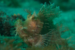 BD-161029-Alor-3600-Rhinopias-frondosa-(Günther.-1892)-[Weedy-scorpionfish].jpg